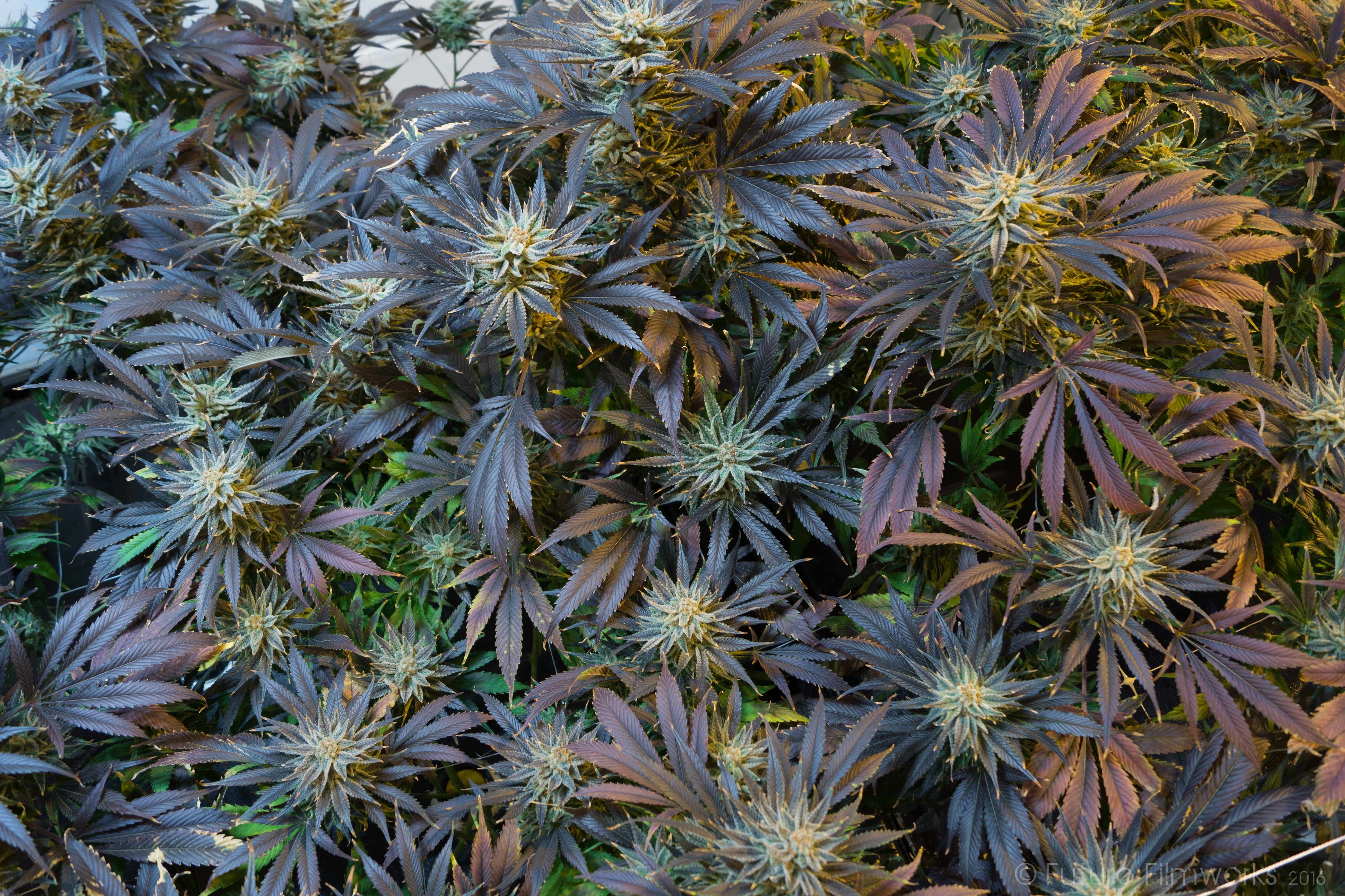 GROW YOUR OWN CANNABIS WITH THE HELP OF G2ROW